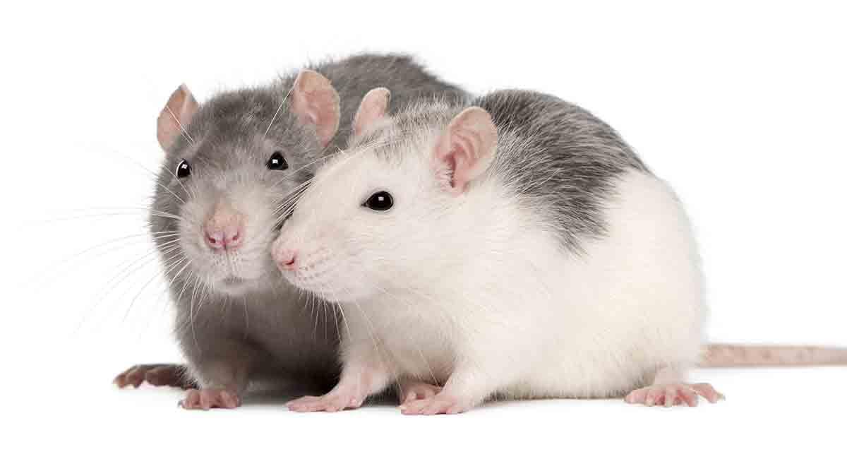 Những giấc mơ thấy chuột là điềm báo gì? Thông điệp từ chuột