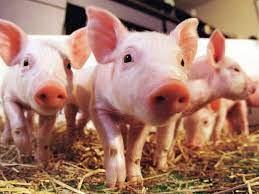 Nằm mơ thấy đàn lợn đánh con gì? – Mơ đàn lợn là điềm báo gì?