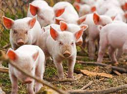 Mơ thấy đàn lợn
