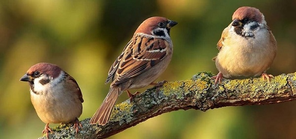 Nằm Mơ Thấy Chim Sẻ Đánh Con Gì Dễ Trúng Lớn?