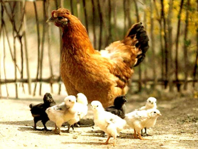 Mơ thấy đàn gà có điềm báo gì, đánh số mấy?