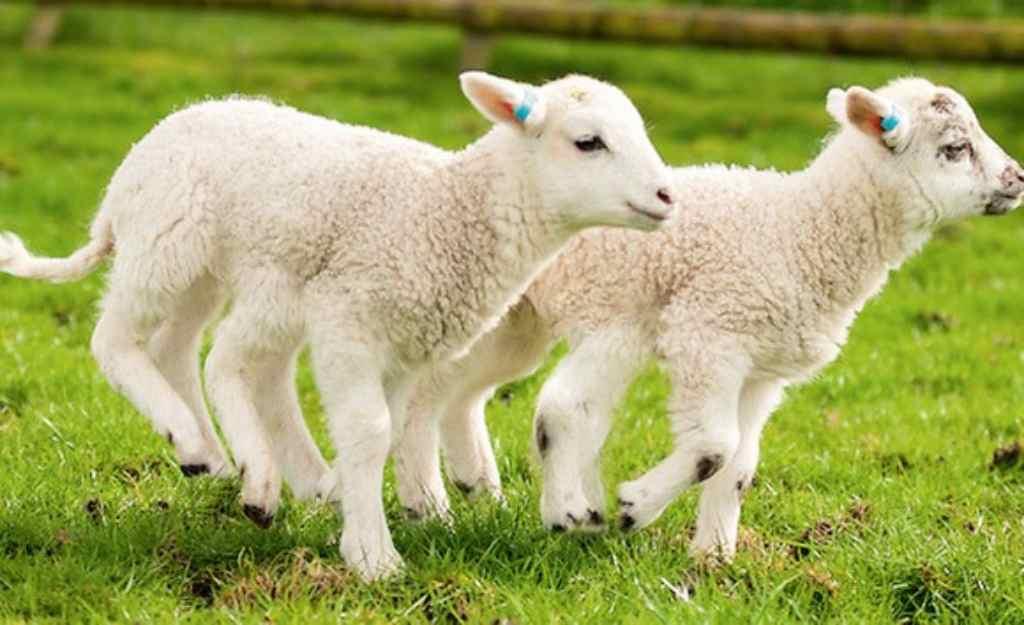 mơ thấy con cừu đuổi theo